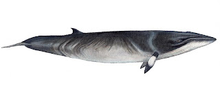 cetacea Ballena de Minke Balaenoptera acutorostrata