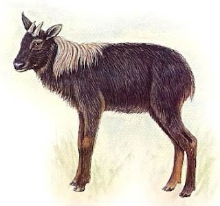 serow de crines Capricornis sumatrensis