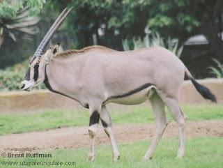 orix beisa Oryx beisa