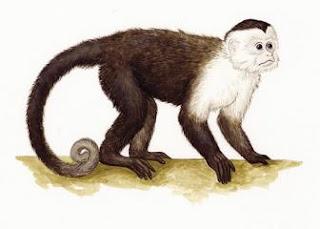 capuchino de gola Cebus capuchinus