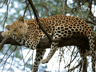 leopardo Panthera pardus mamiferos de Africa