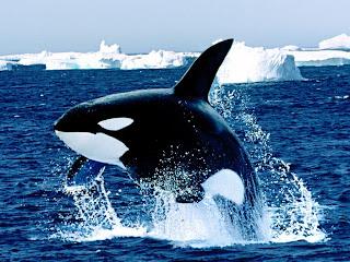 orca Orcinus orca mamiferos marinos