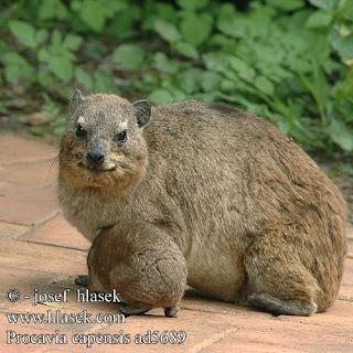 daman de las rocas Procavia capensis mamiferos de África
