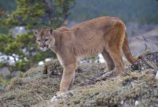 puma Puma concolor carnivoros de Argentina