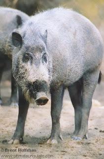 suidae cerdo barbudo Sus barbatus