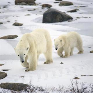 presas del oso polar Ursus maritimus