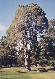 Cedro de Guadalupe (Cupressus guadalupensis)