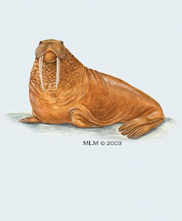 morsa Odobenus rosmarus