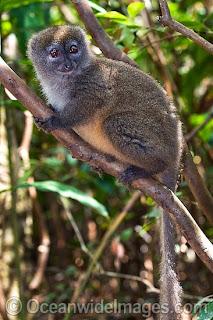 lemur cariancho Hapalemur griseus