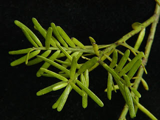 Pino negro (Prumnopitys taxifolia)