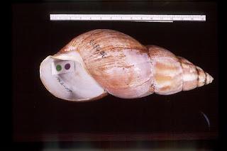 Caracol gigante africano (Achatina fulica)