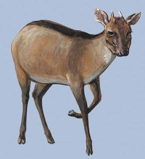 duker bayo Cephalophus dorsalis