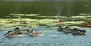 ecologia del Pato pachon Malacorhynchus membranaceus