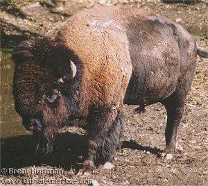 bisonte americano Bison bison
