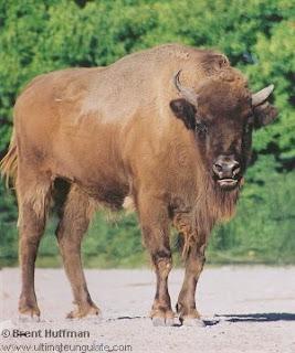 bovidae bisonte europeo Bison bonasus