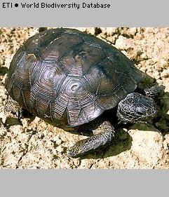 tortuga de Florida Gopherus polyphemus