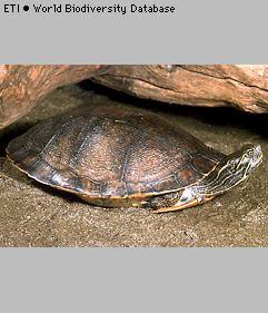 Tortuga de vientre rojo Pseudemys alabamensis