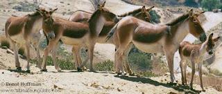 Equidae kiang Equus kiang