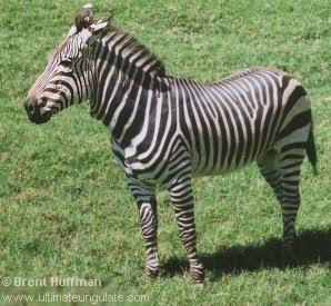 cebra de montaña Equus zebra
