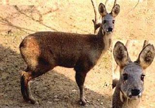 ciervo almizclero siberiano Moschus moschiferus