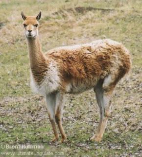 vicuña Vicugna vicugna