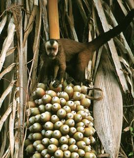 mono capuchino Cebus apella Cebidae