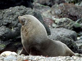 lobo marino antartico Arctocephalus gazella
