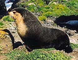 lobo marino subantartico Arctocephalus tropicalis