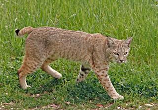lince rojo Lynx rufus presas del Lince rojo