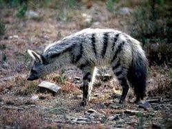 lobo de tierra Proteles cristata hienas de africa