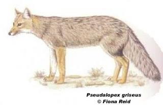 zorro de las pampas Pseudalopex gymnocercus