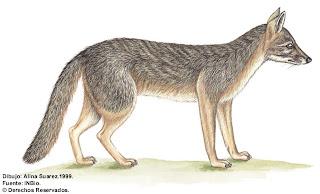 canidae Urocion Urocyon cinereoargenteus