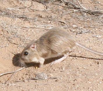 rata canguro del desierto Dipodomys deserti