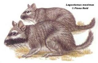 vizcacha Lagostomus maximus