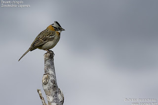 argentinian birds chingolo Zonotrichia capensis
