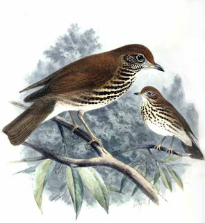 zorzal charlo americano Hylocichla mustelina american birds