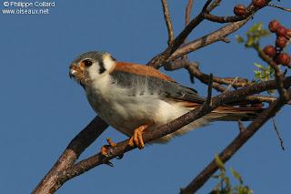 halconcito colorado Falco sparverius el halconcito colorado en Argentina