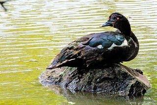 Pato criollo Cairina moschata patos de Argentina
