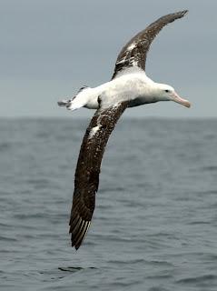 albatros errante Diomedea exulans aves de Argentina