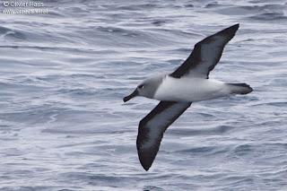 procellaiformes albatros de cabeza gris Thalassarche chrysotoma