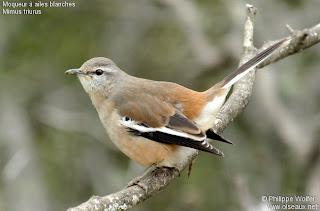 calandria real Mimus triurus aves Argentinas y de otros lugares