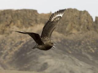 aves argentinas presas de la Gaviota parda antartica Stercorarius maccormicki