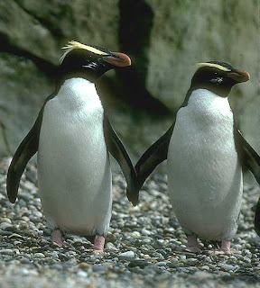 pinguino de Nueva Zelanda Eudyptes pachyrhynchus