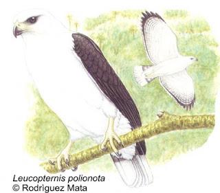 aguilucho blanco Leucopternis polionota aves de Argentina