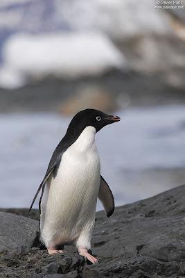 spheniscidae pinguino de ojo blanco Pygoscelis adeliae