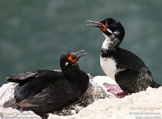 cormoran de cuello negro Phalacrocorax magellanicus