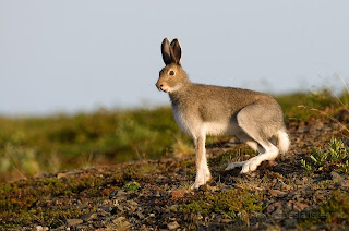 liebre variable Lepus timidus