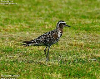 chorlo pampa Pluvialis dominica aves de Argentina