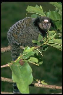 sagui Callithrix penicillata america monkeys