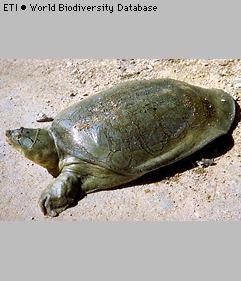 tortuga del Ganges Nilssonia gangetica